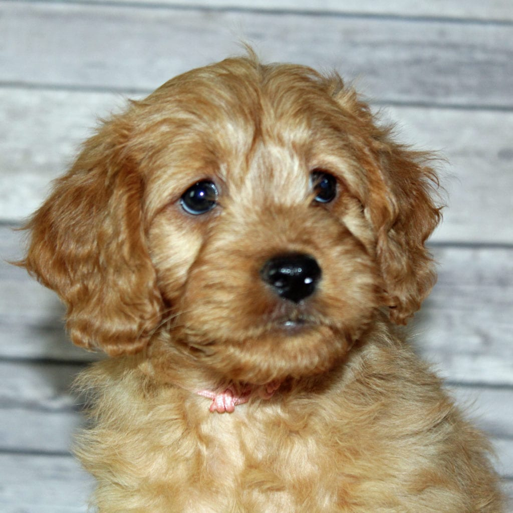 Petite Irish Goldendoodles with hypoallergenic fur due to the Poodle in their genes. These Irish Goldendoodles are of the F2B generation. For more info on generations, view our specific breed page for Irish Goldendoodles.