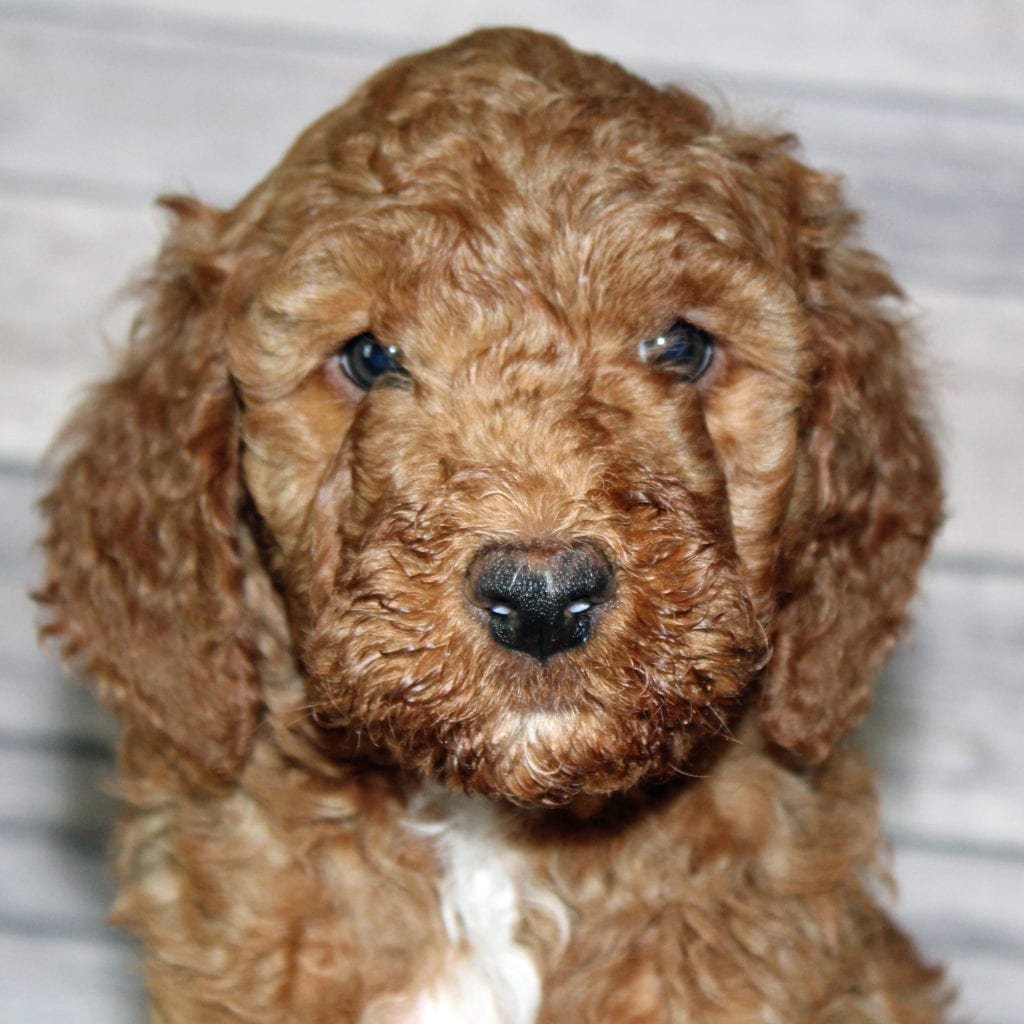 Irish Goldendoodles bred in in Iowa by Poodles 2 Doodles