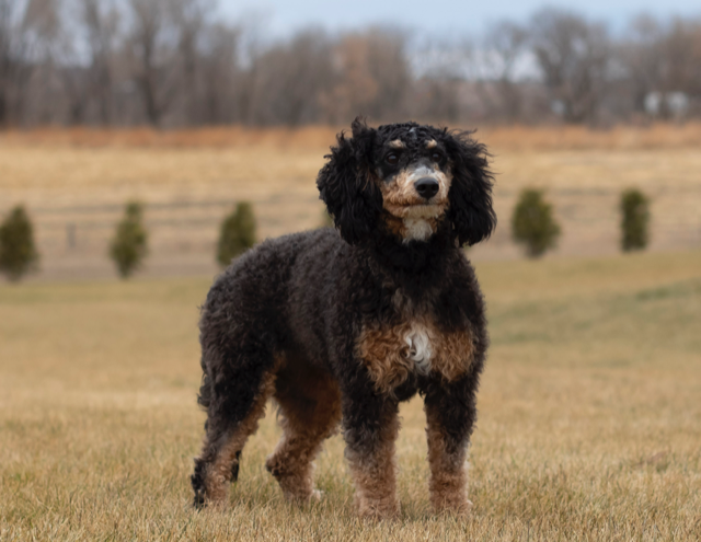 Raven is an F1B Bernedoodle and a mother here at Poodles 2 Doodles, Sheepadoodle and Bernedoodle breeder from Iowa