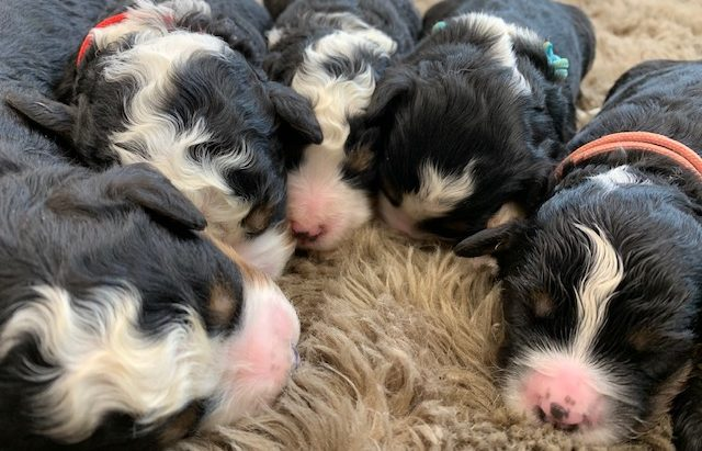 A picture of our litter of Mini Bernedoodles raised in Iowa
