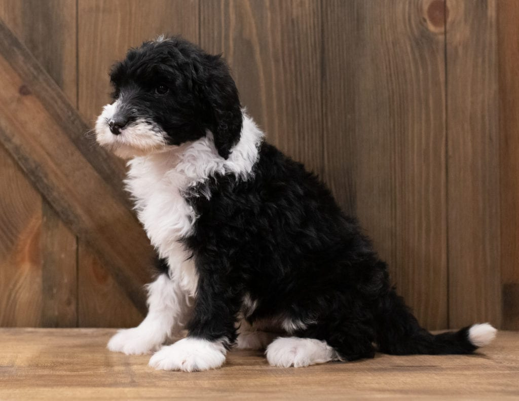 Zack is an F1 Sheepadoodle that should have  and is currently living in California