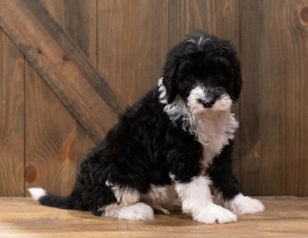 Compare and contrast Sheepadoodles with other doodle types at our breed comparison page!