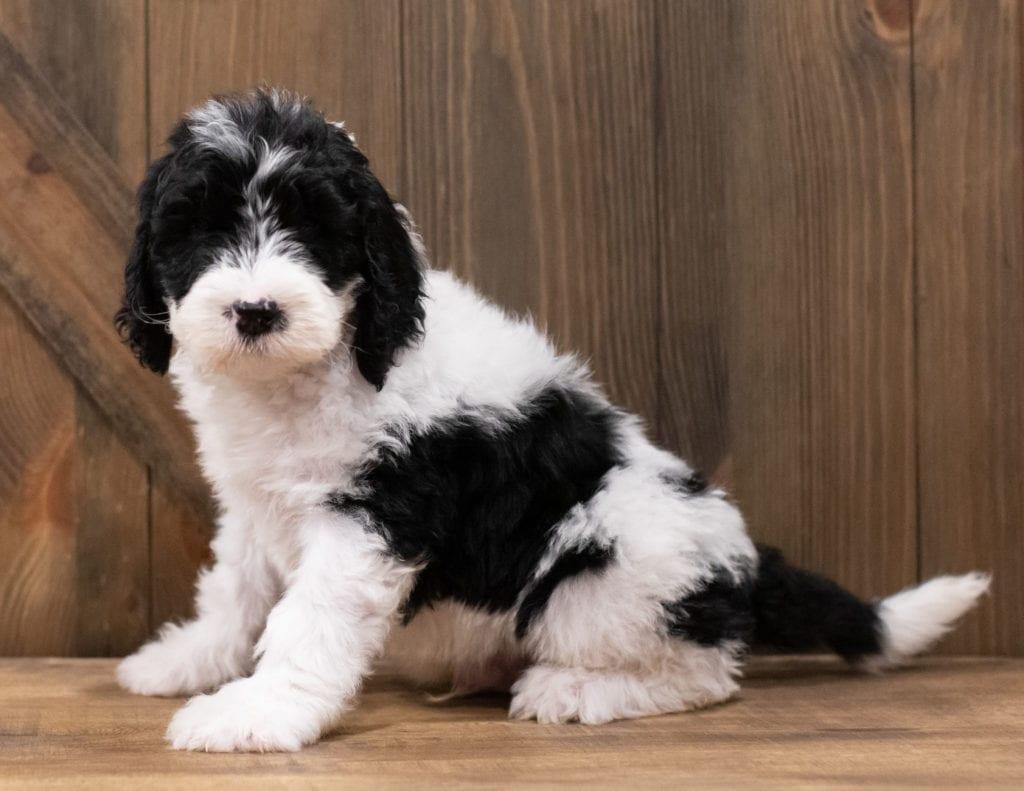 A picture of a Zander, one of our Standard Sheepadoodles puppies that went to their home in Virginia