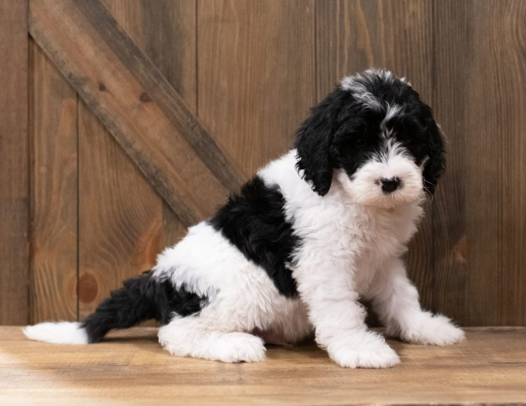 Zander is an F1 Sheepadoodle that should have  and is currently living in Virginia