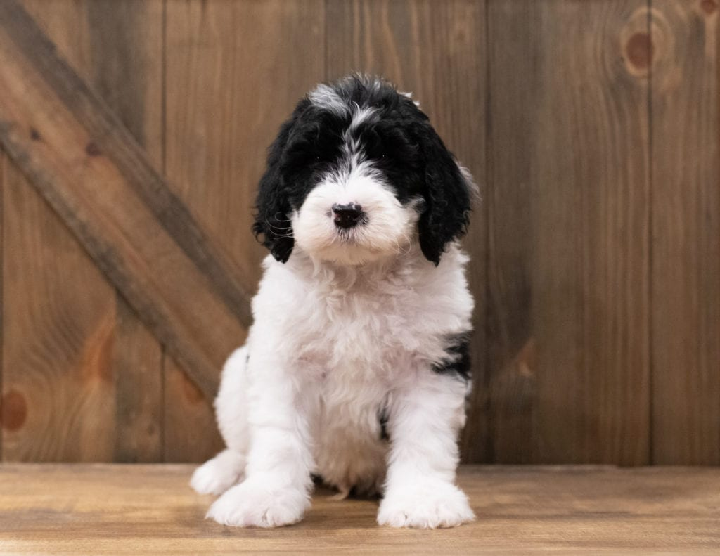 Zander came from Truffles and Merlin's litter of F1 Sheepadoodles