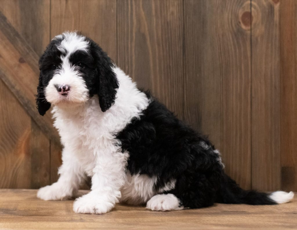 Zane is an F1 Sheepadoodle that should have  and is currently living in Iowa
