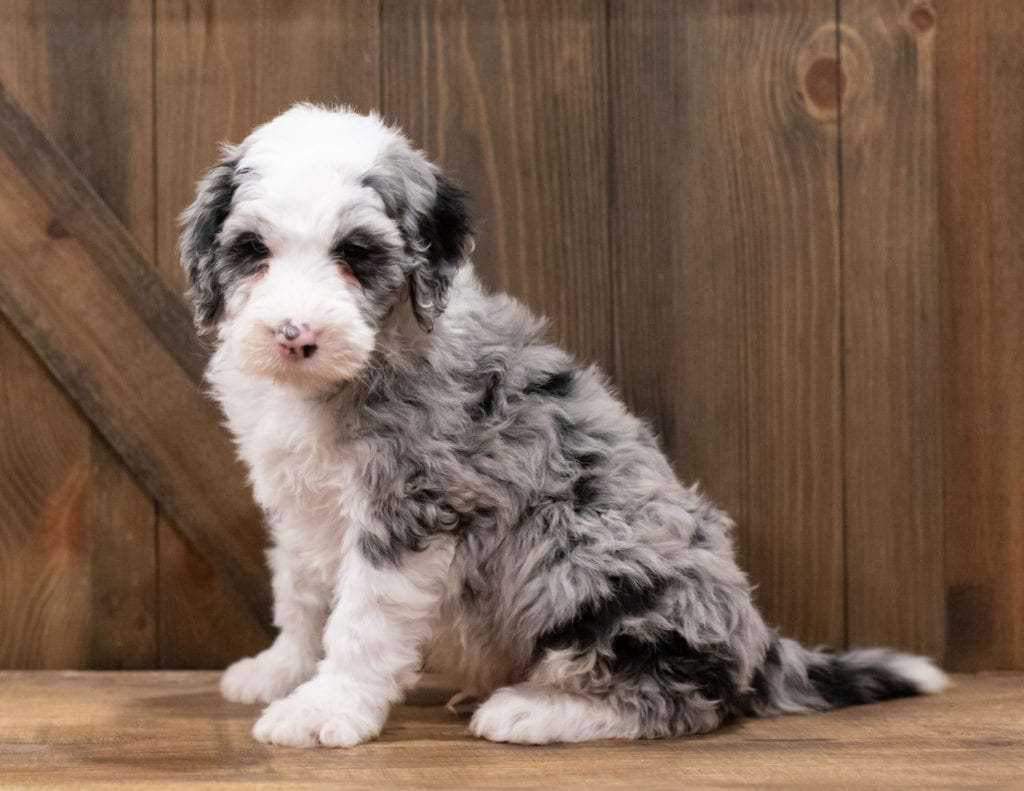 A picture of a Zues, one of our Standard Sheepadoodles puppies that went to their home in Oregon
