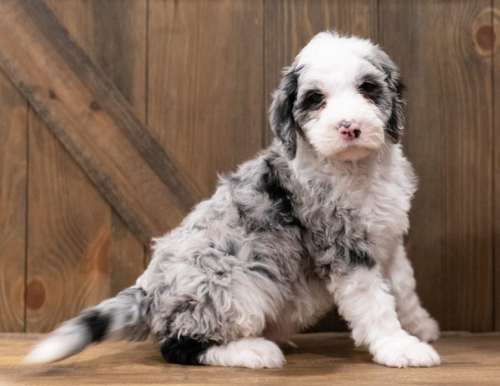 Zues is an F1 Sheepadoodle that should have  and is currently living in Oregon