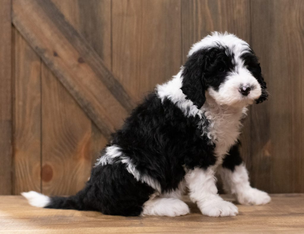 Zeva is an F1 Sheepadoodle that should have  and is currently living in Nebraska