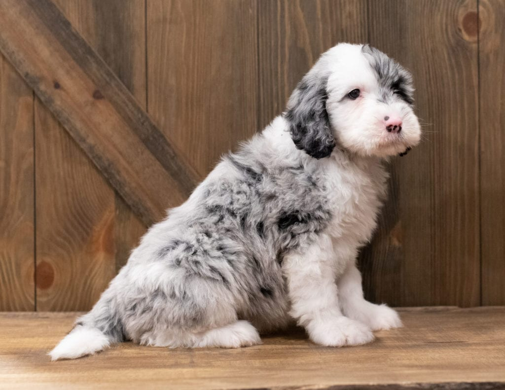 Ziggy is an F1 Sheepadoodle that should have  and is currently living in North Carolina