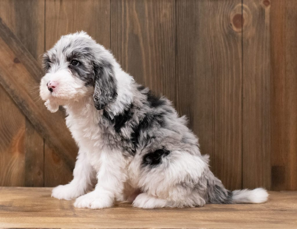 A picture of a Zipper, one of our Standard Sheepadoodles puppies that went to their home in Arkansas