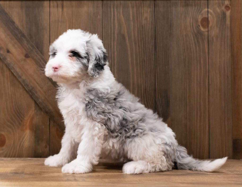 Zola is an F1 Sheepadoodle that should have  and is currently living in Iowa
