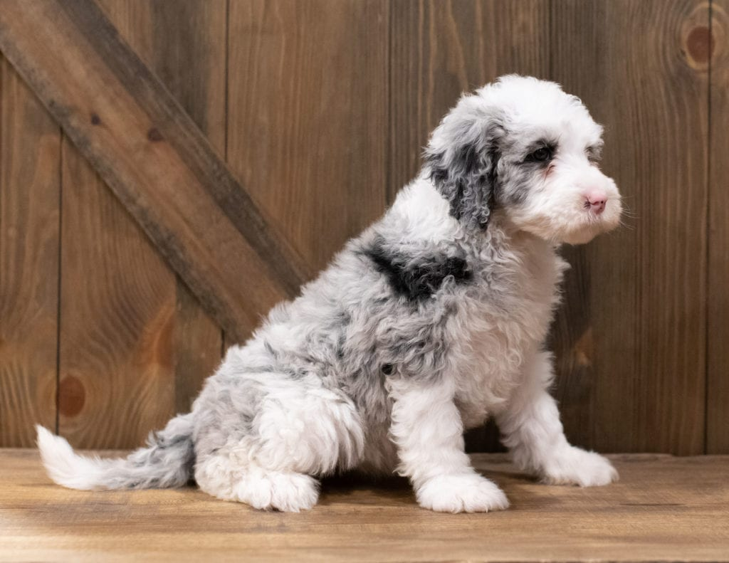 These Sheepadoodles were bred by Poodles 2 Doodles, their mother is Truffles and their father is Merlin