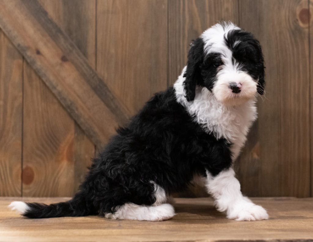 Zuma is an F1 Sheepadoodle that should have  and is currently living in California