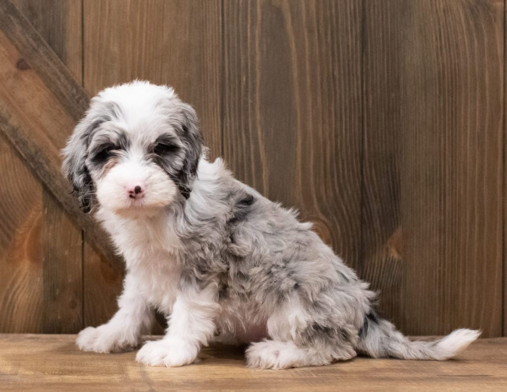 Zuri is an F1 Sheepadoodle that should have  and is currently living in Florida