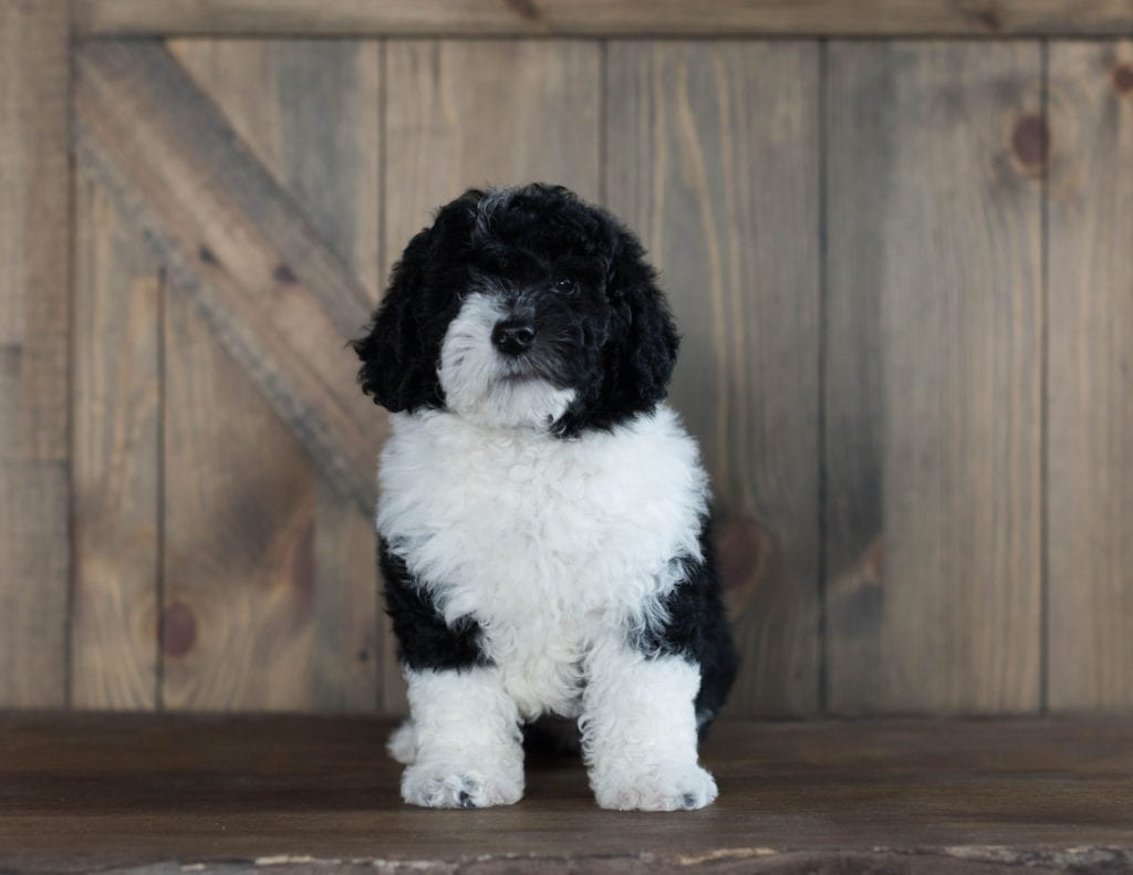 A picture of a Delilah, one of our Mini Sheepadoodles puppies that went to their home in Iowa