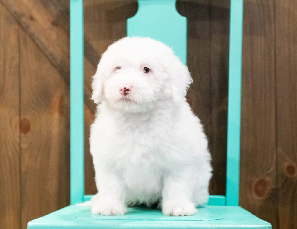Easton is an F1 Sheepadoodle that should have  and is currently living in Ohio