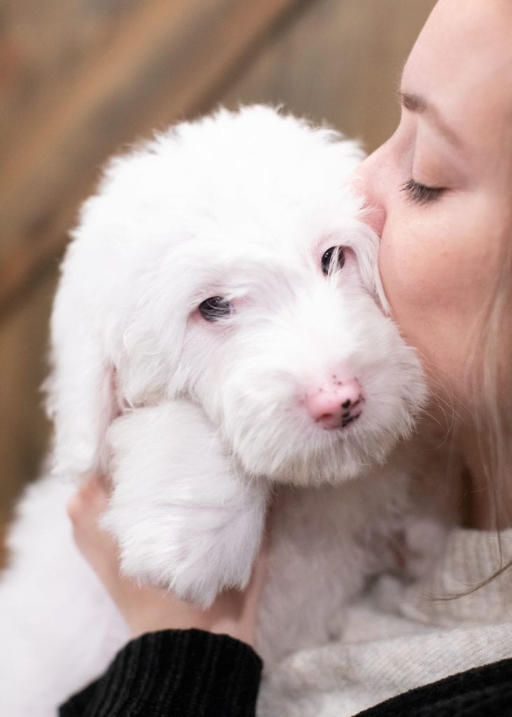 A picture of a Easton, one of our Mini Sheepadoodles puppies that went to their home in Ohio