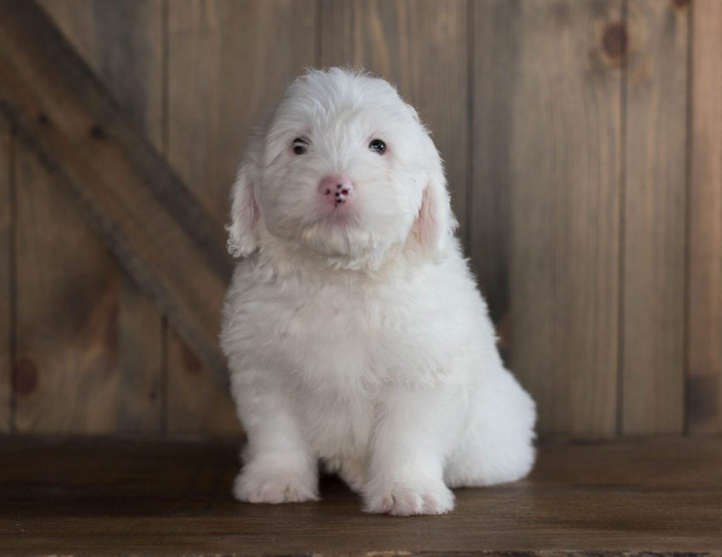 A picture of a Easton, one of our Mini Sheepadoodles for sale
