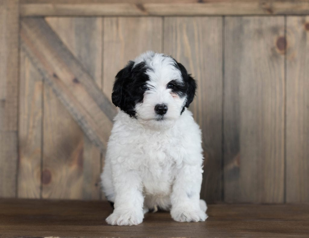 A picture of a Damper, one of our Mini Sheepadoodles puppies that went to their home in Alabama