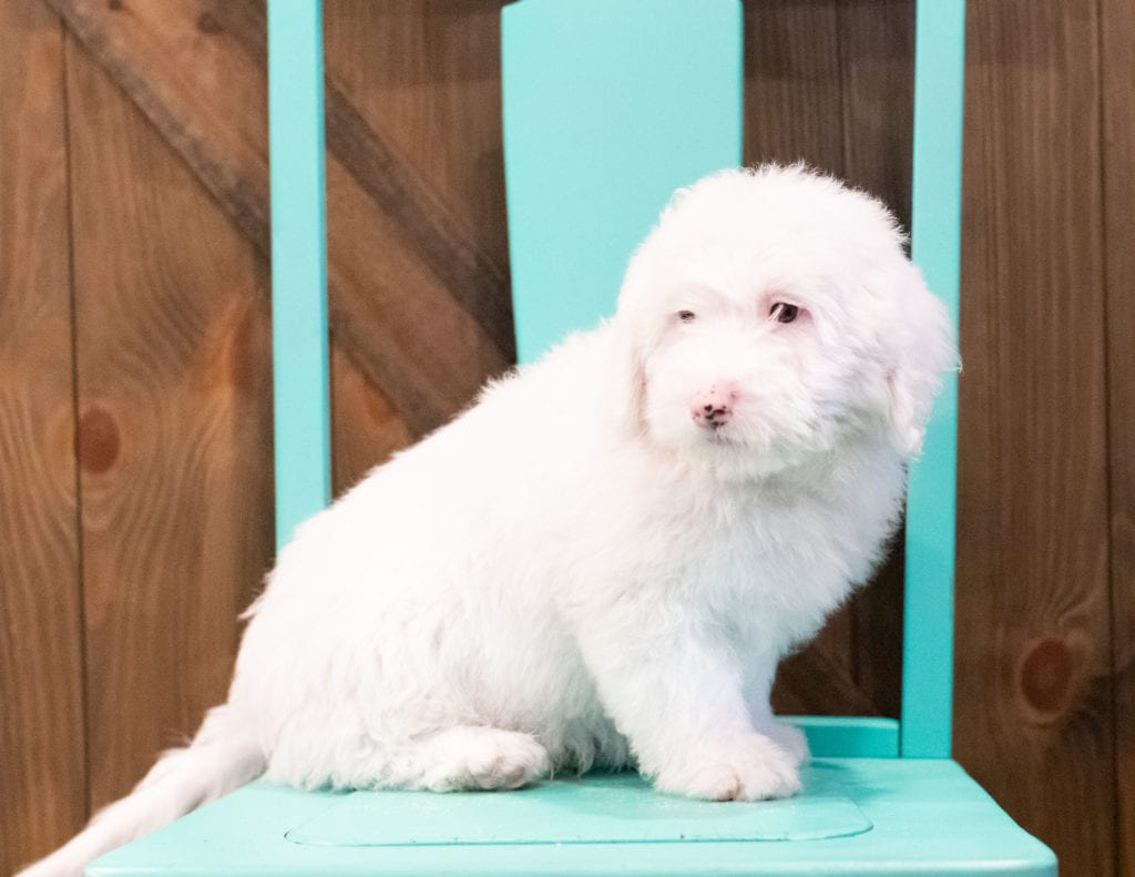 Easton came from Kaze and Ozzy's litter of F1 Sheepadoodles