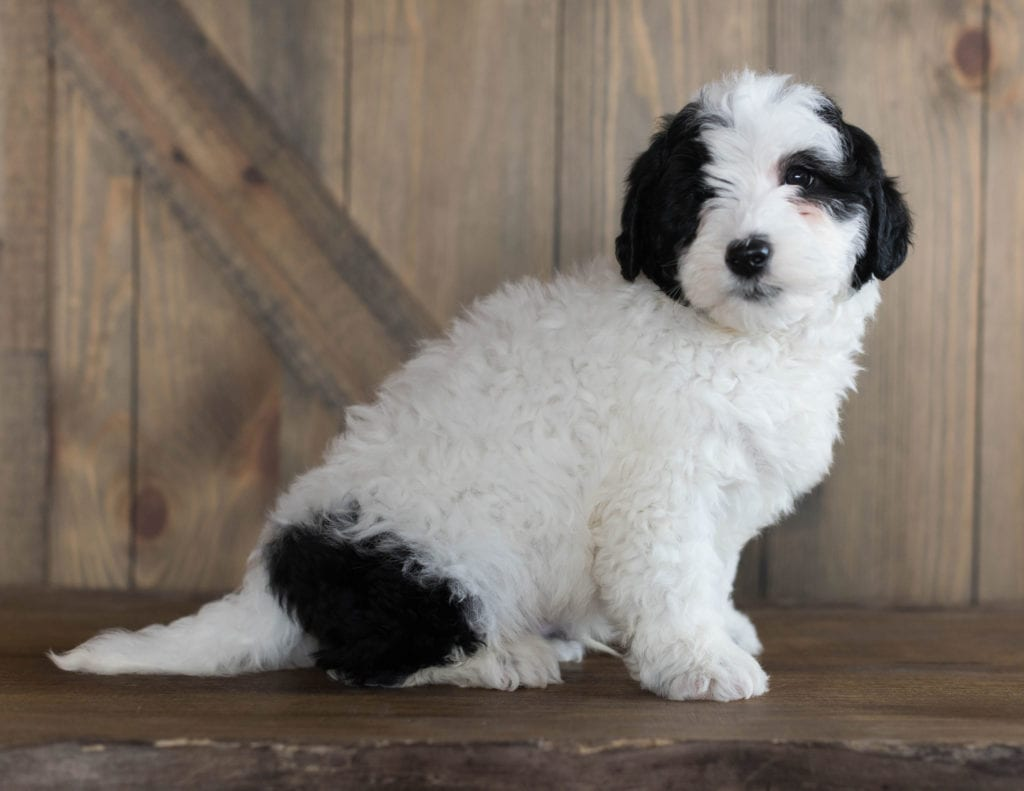 Damper is an F1B Sheepadoodle that should have  and is currently living in Alabama