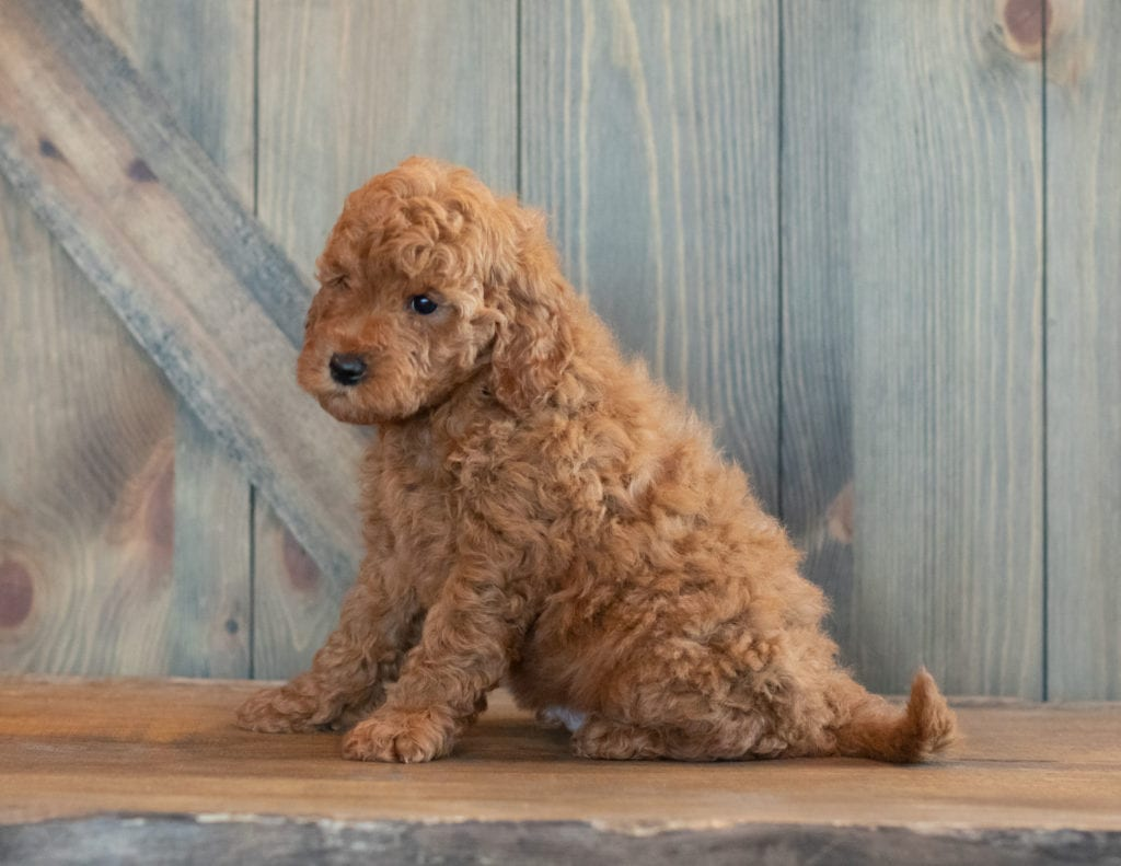 Gerald is an F1B Goldendoodle.