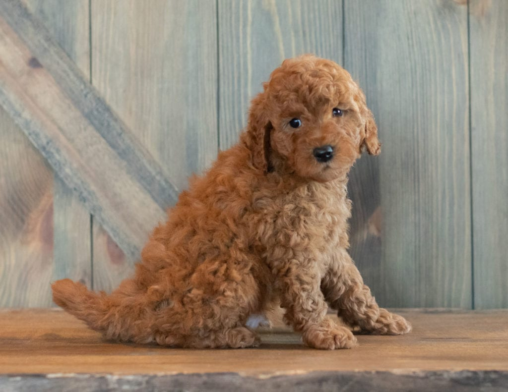 Gerald came from Berkeley and Reggie's litter of F1B Goldendoodles