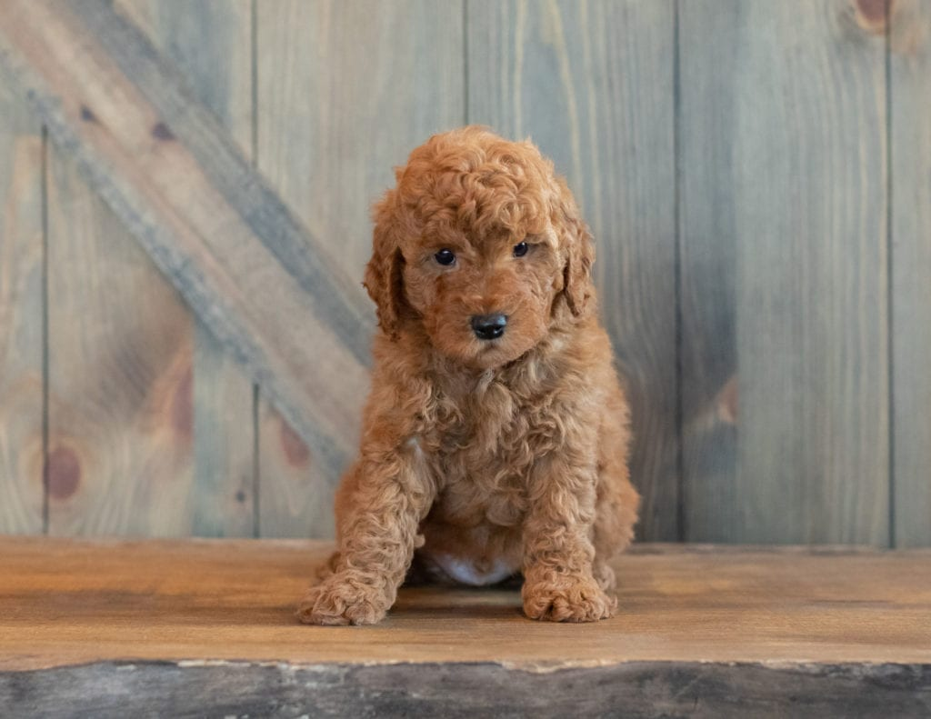 Another pic of our recent Goldendoodle litter