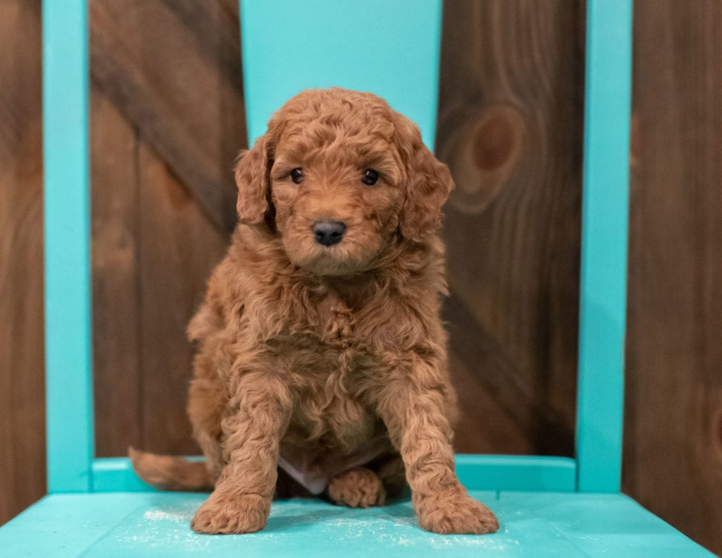 A picture of a Gerald, one of our Petite Goldendoodles for sale