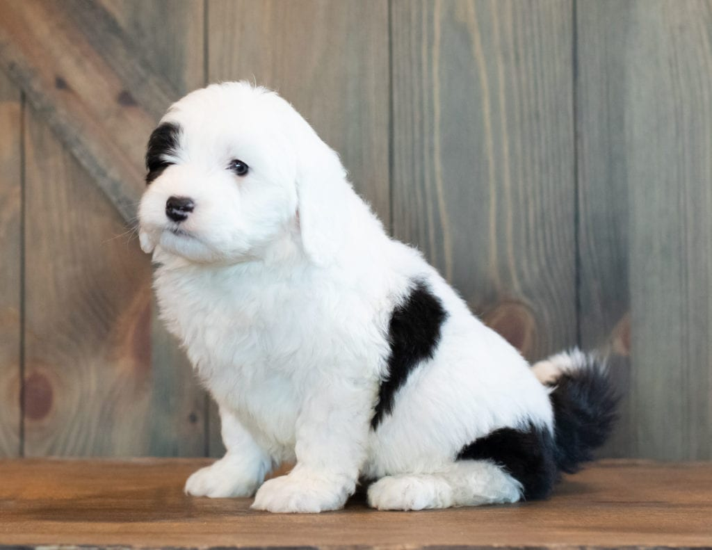 Mini Sheepadoodles with hypoallergenic fur due to the Poodle in their genes. These Sheepadoodles are of the F1 generation. For more info on generations, view our specific breed page for Sheepadoodles.