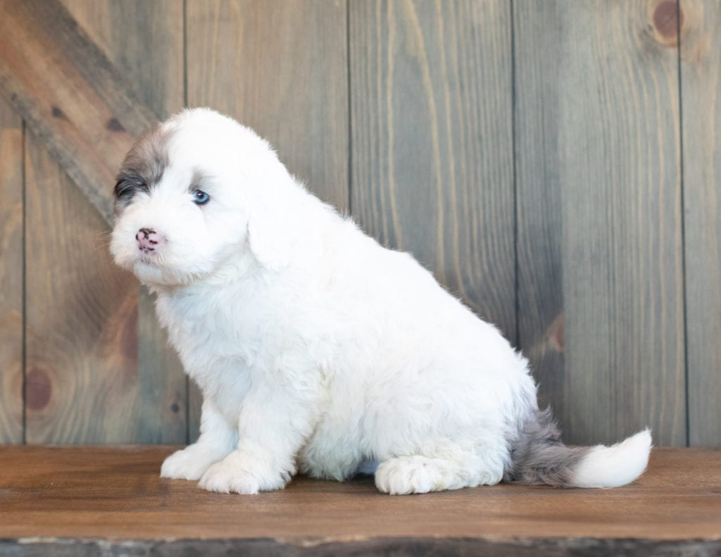 A picture of a Brock, one of our Mini Sheepadoodles puppies that went to their home in Illinois