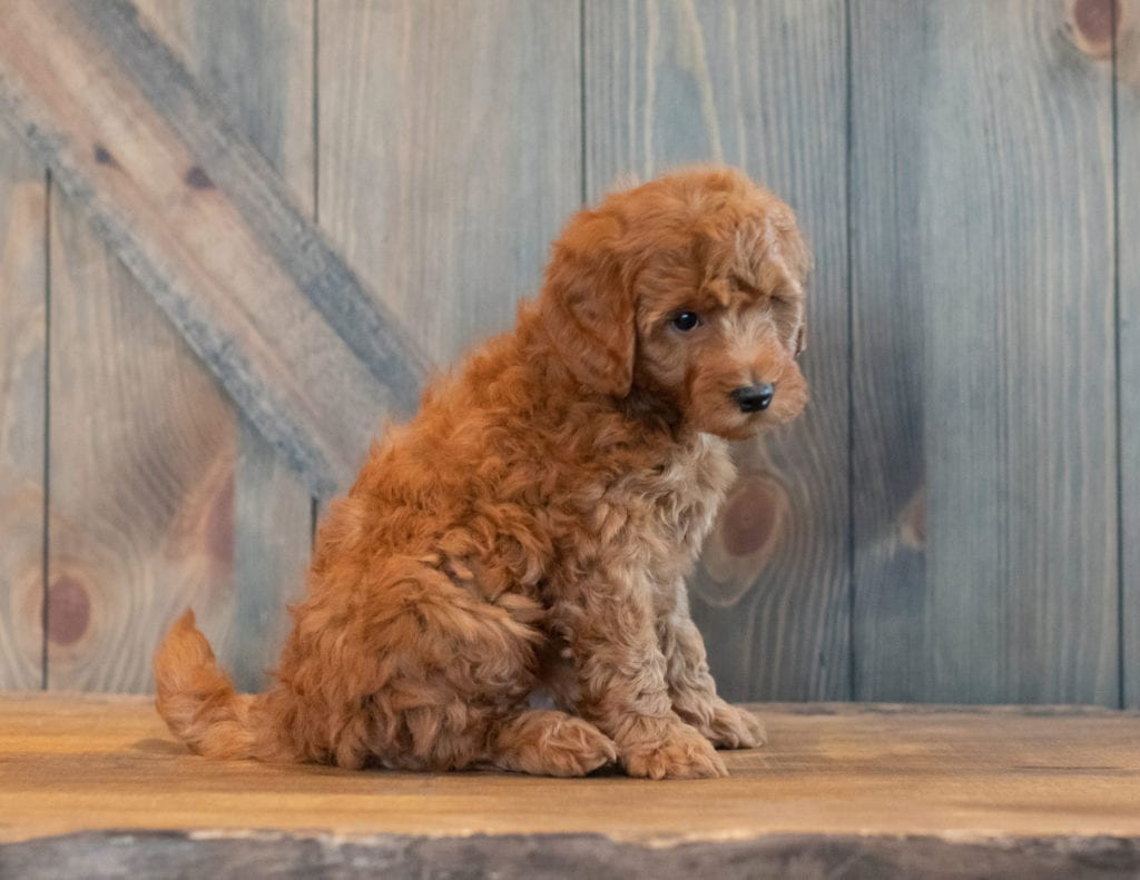 Gunner came from Berkeley and Reggie's litter of F1B Goldendoodles