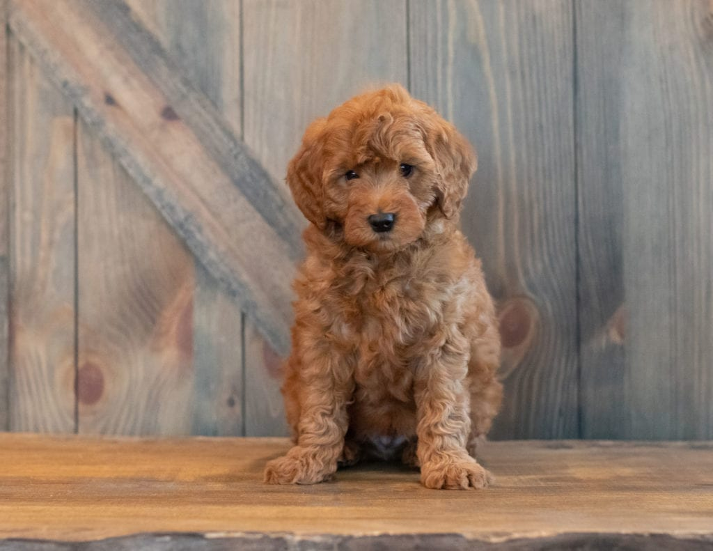 A picture of a Gunner, one of our Petite Goldendoodles for sale