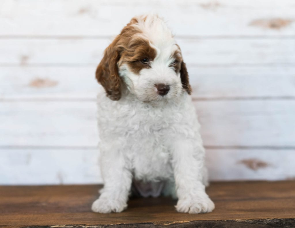 Isabel is an F1BB Goldendoodle that should have  and is currently living in Tennessee