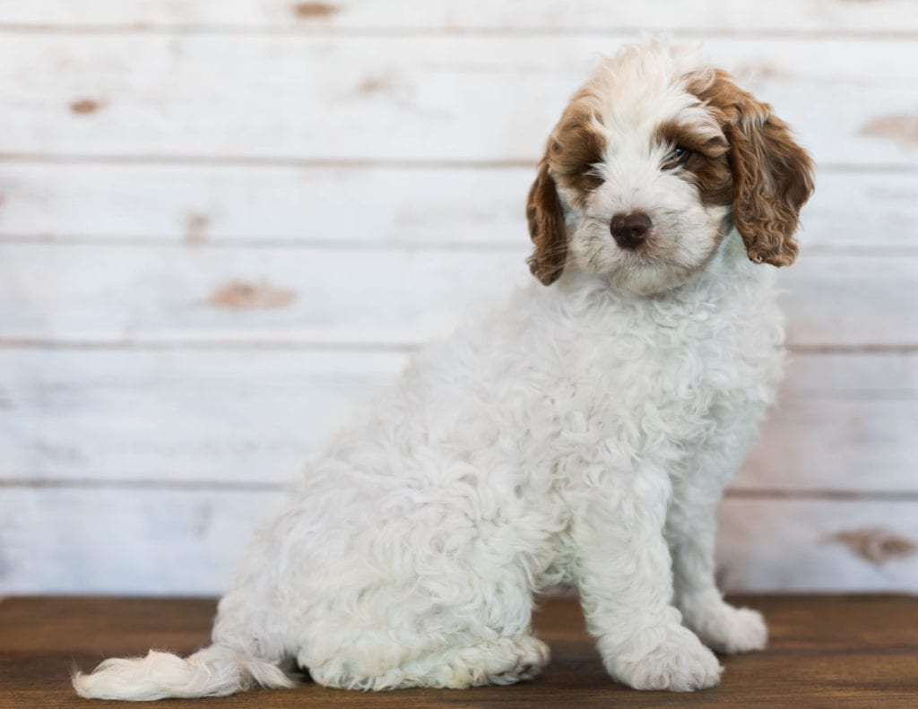 A picture of a Isabel, one of our Mini Goldendoodles puppies that went to their home in Tennessee
