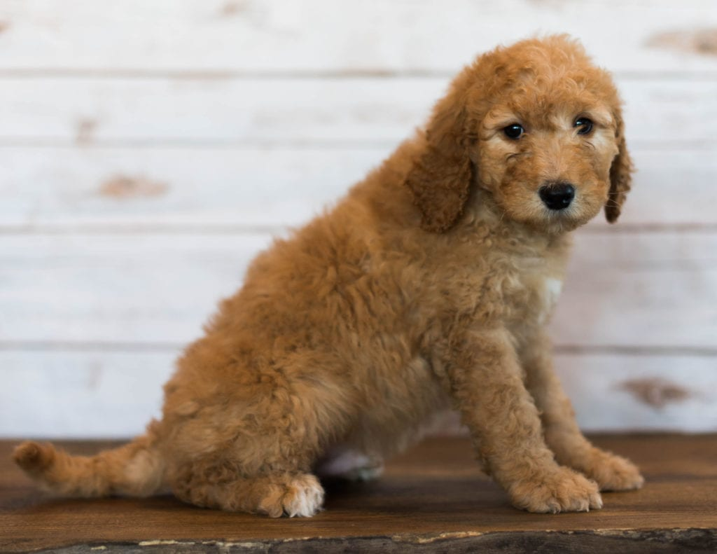 Hanson came from Kimber and Scout's litter of F1B Goldendoodles