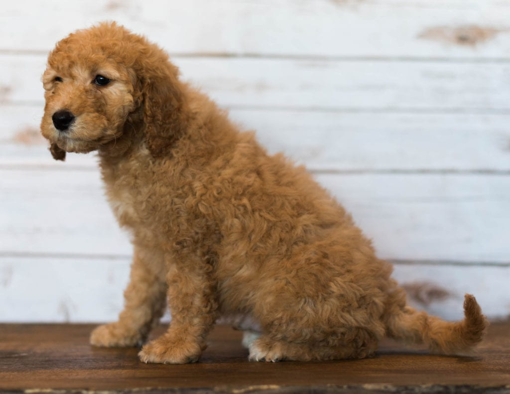 Hanson is an F1B Goldendoodle that should have  and is currently living in Iowa