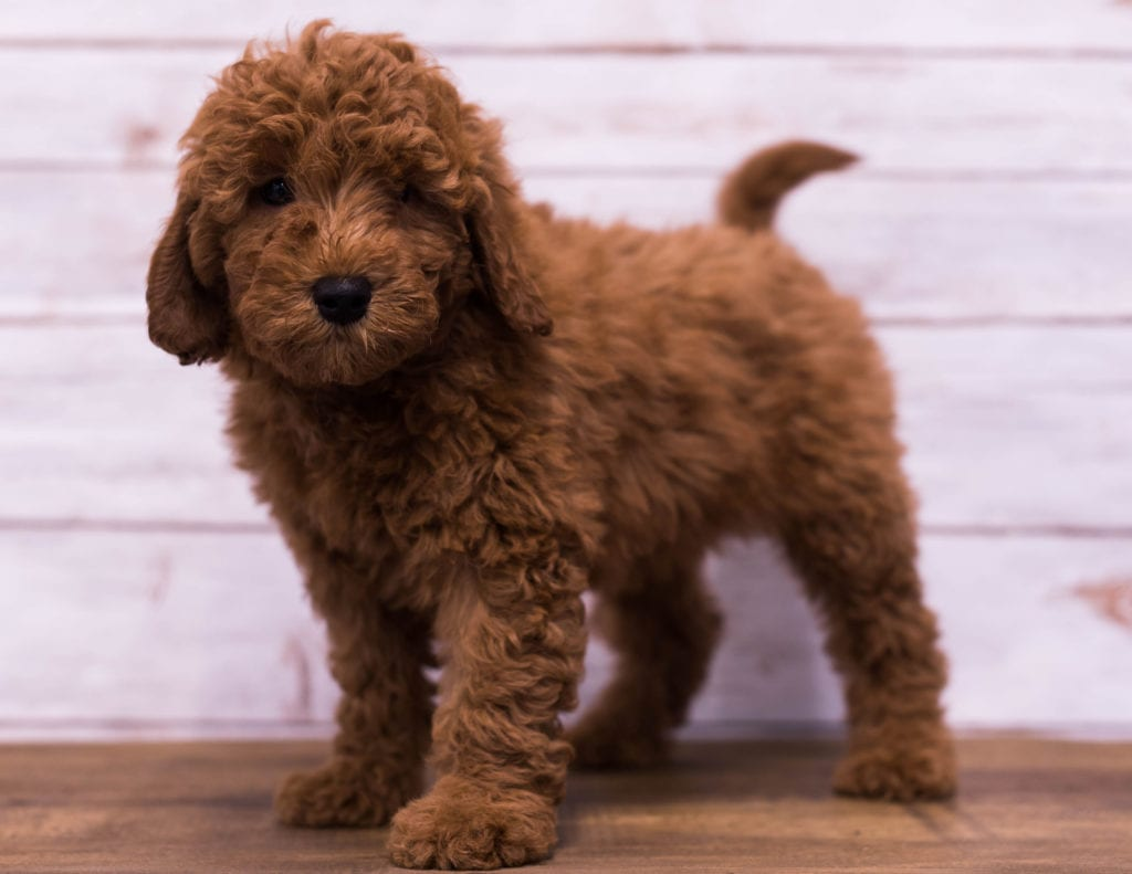 Gerald is an F1B Goldendoodle that should have  and is currently living in Tennessee