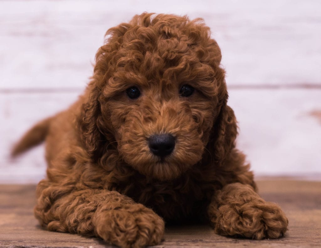 A picture of a Gerry, one of our Petite Goldendoodles puppies that went to their home in Minneapolis