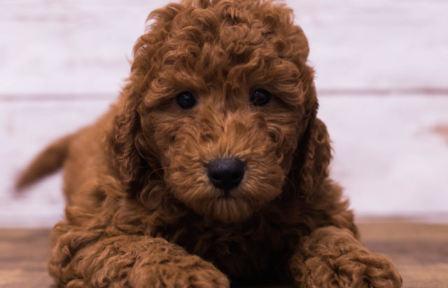A Poodles 2 Doodles litter of Petite Goldendoodles raised in Iowa