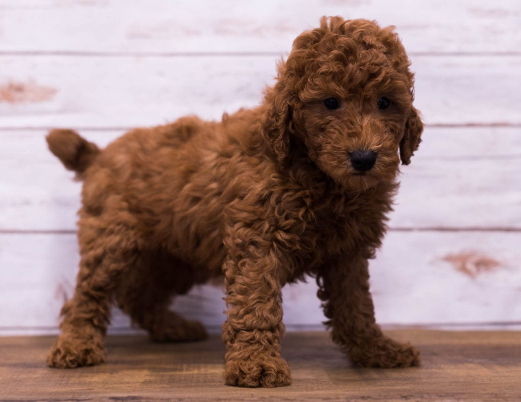 Gerry came from Berkeley and Reggie's litter of F1B Goldendoodles