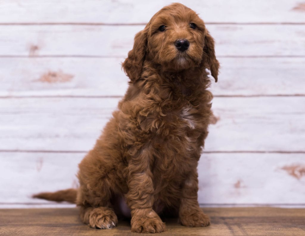 Hickory came from Kimber and Scout's litter of F1B Goldendoodles