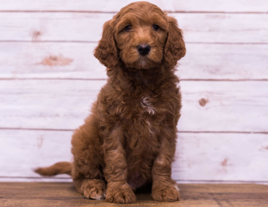 A picture of a Hickory, one of our Mini Goldendoodles puppies that went to their home in Missouri