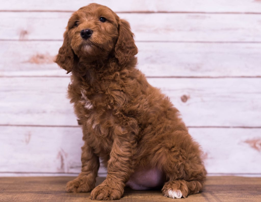 Hickory is an F1B Goldendoodle that should have  and is currently living in Missouri