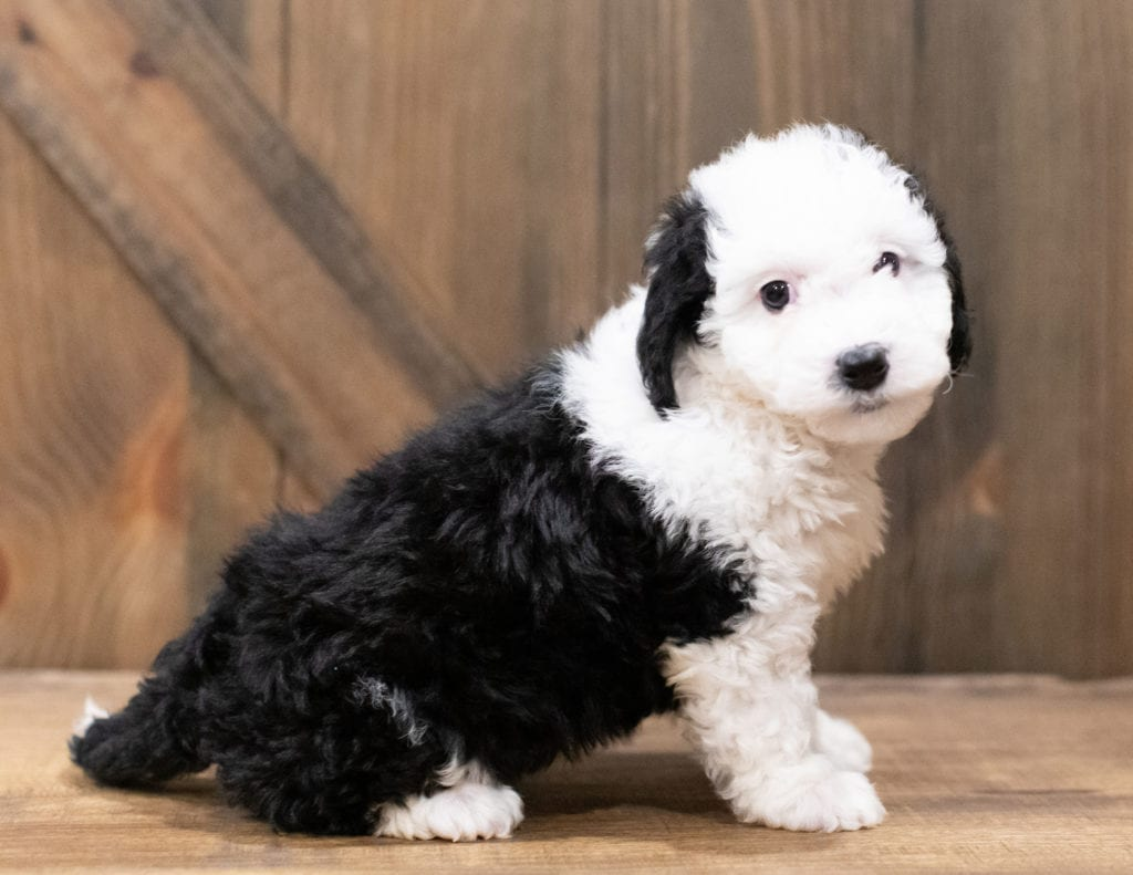 A picture of a Della, one of our Mini Sheepadoodles puppies that went to their home in Indiana