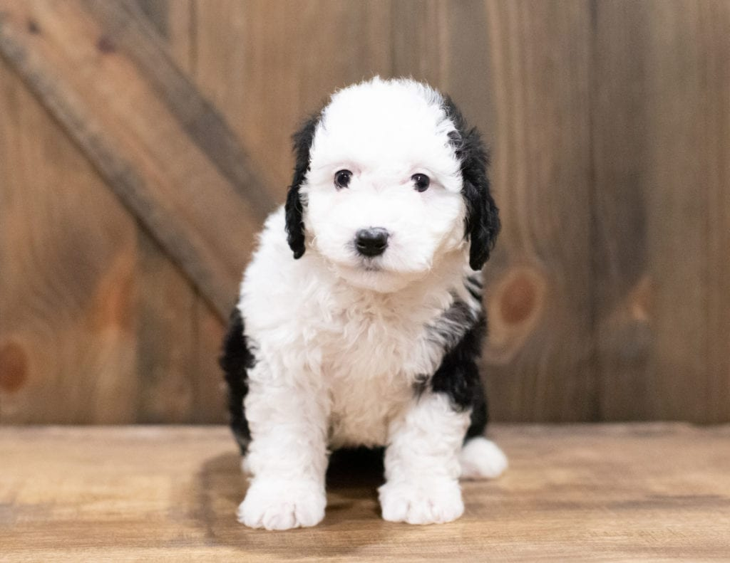 Della is an F1B Sheepadoodle that should have  and is currently living in Indiana