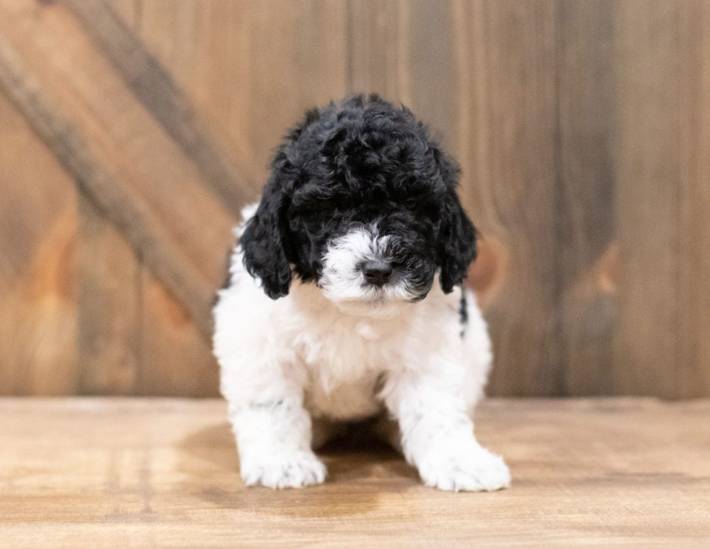 Dixie is an F1B Sheepadoodle that should have  and is currently living in West Virginia