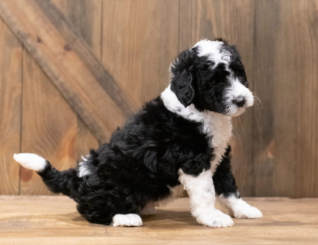 Dodge is an F1B Sheepadoodle that should have  and is currently living in Florida