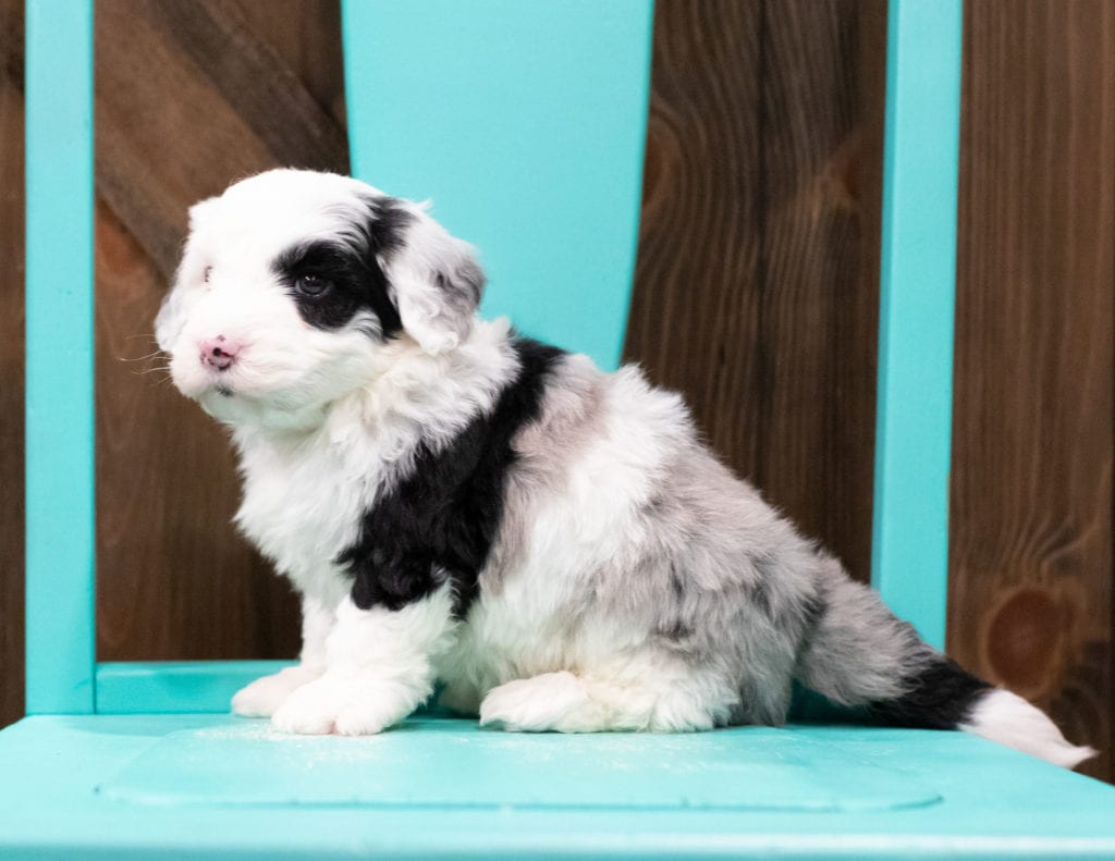A picture of a Echo, one of our Mini Sheepadoodles puppies that went to their home in Iowa
